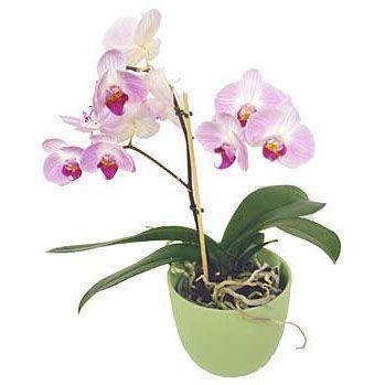 Orhideja u tegli HR