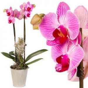 Phalaenopsis - CG