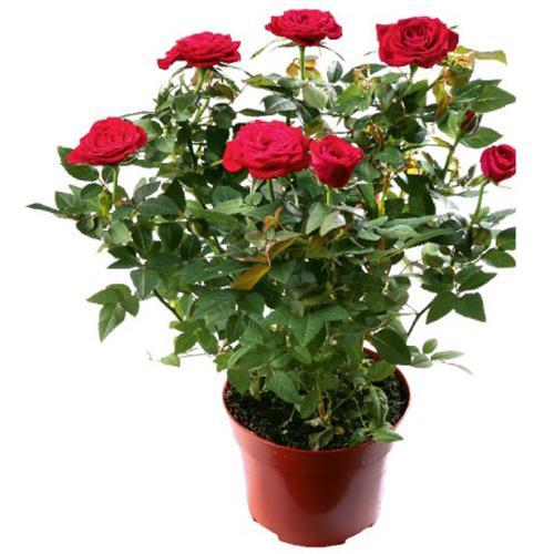 Mini ruža