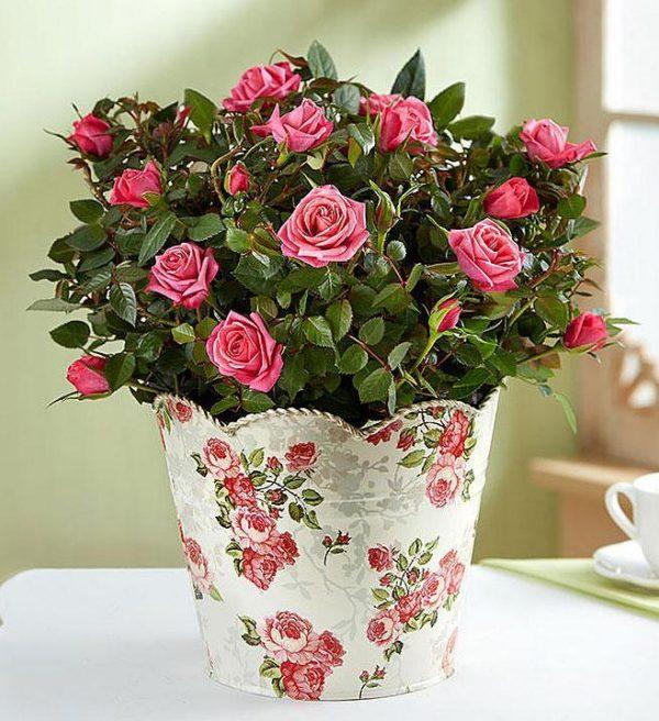 Saksijsko cveće 001