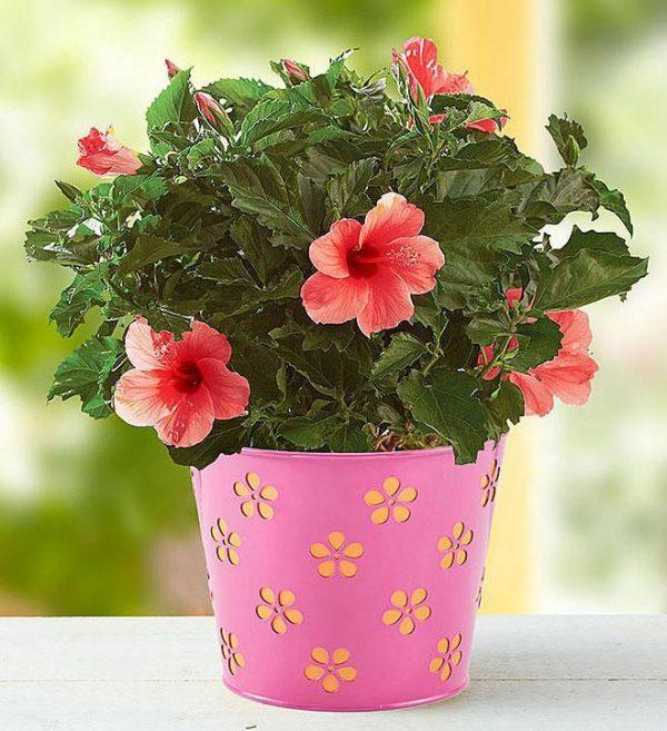 Saksijsko cveće 005
