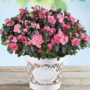 Saksijsko cveće 008